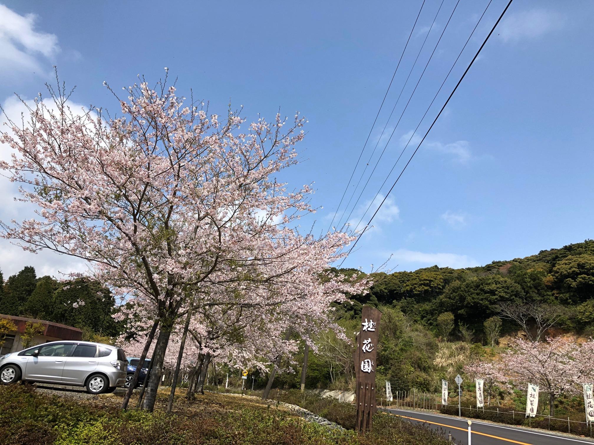 染井吉野が満開です。