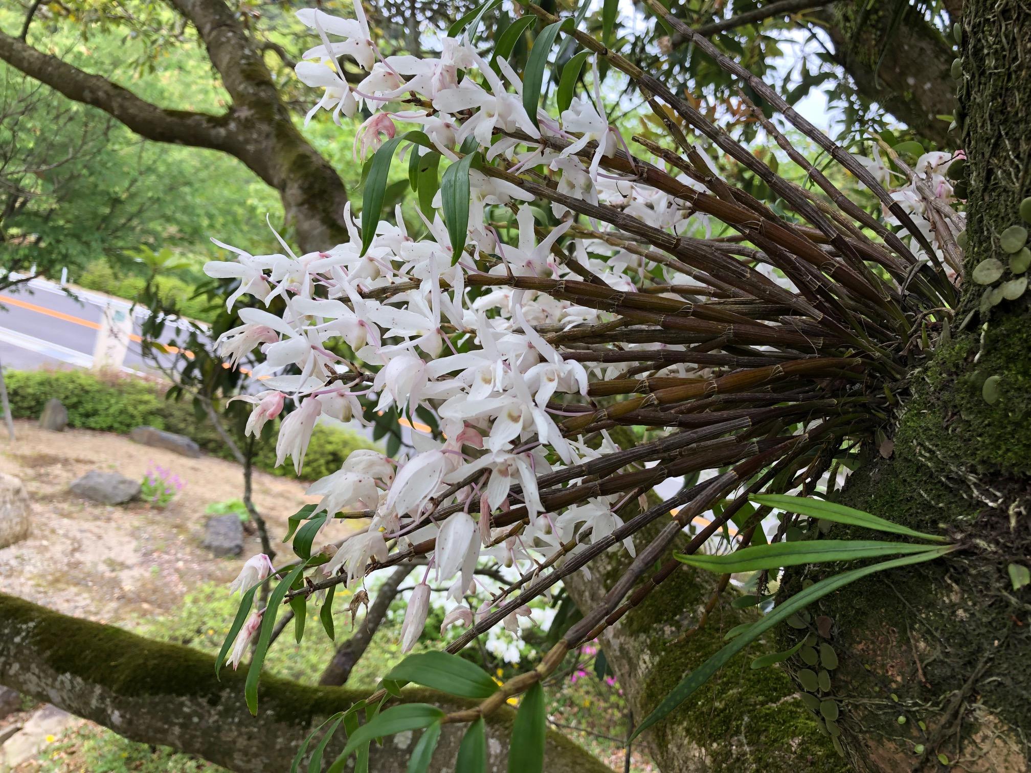 タブノキに着生ランが咲いています。