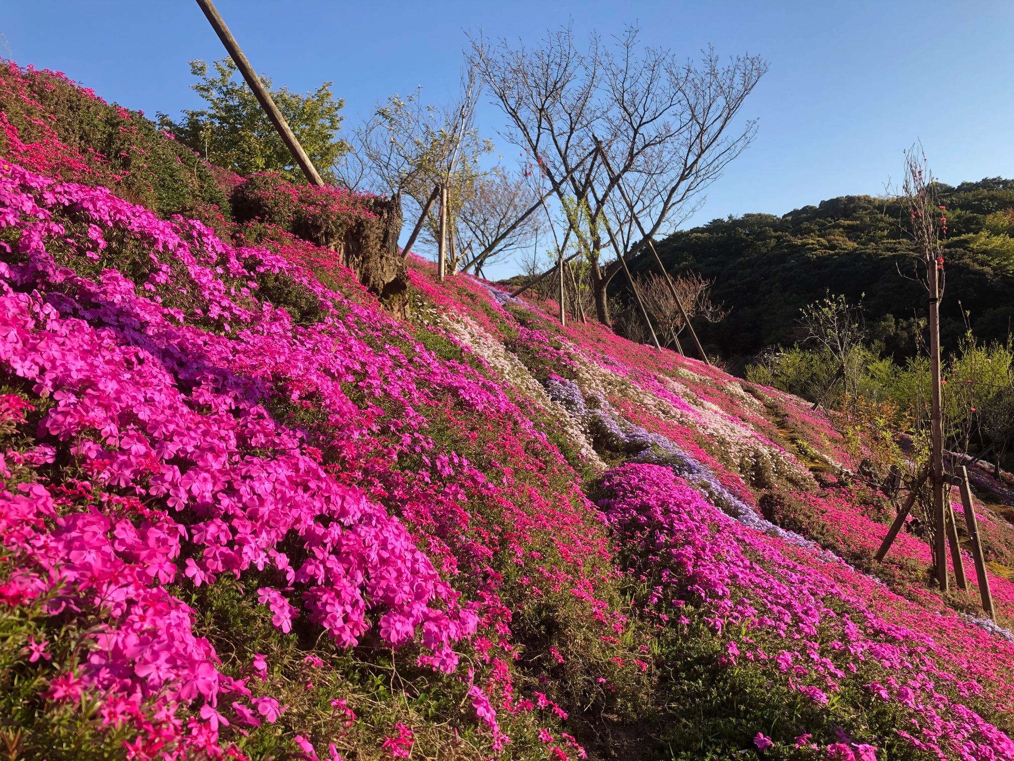 芝桜情報④ 開花率80%