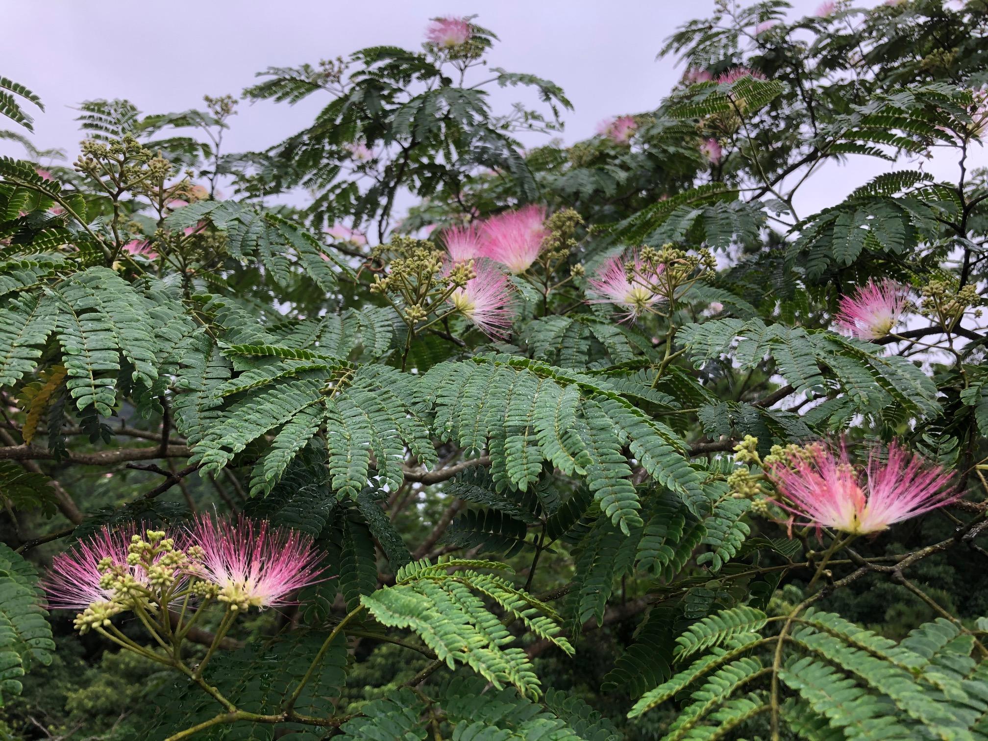 ねむの木の花を見て想うこと。