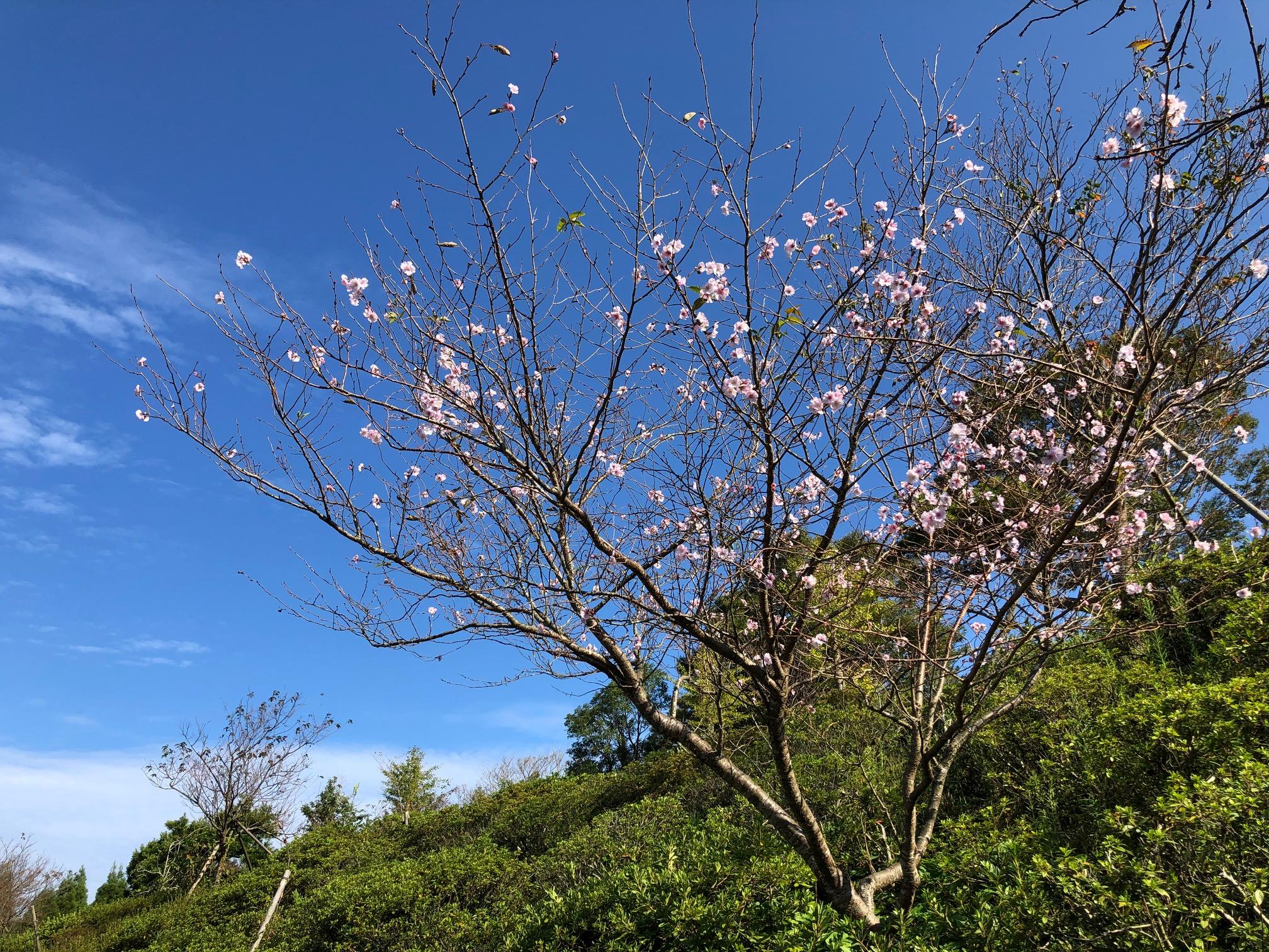 狂い咲きサクラ