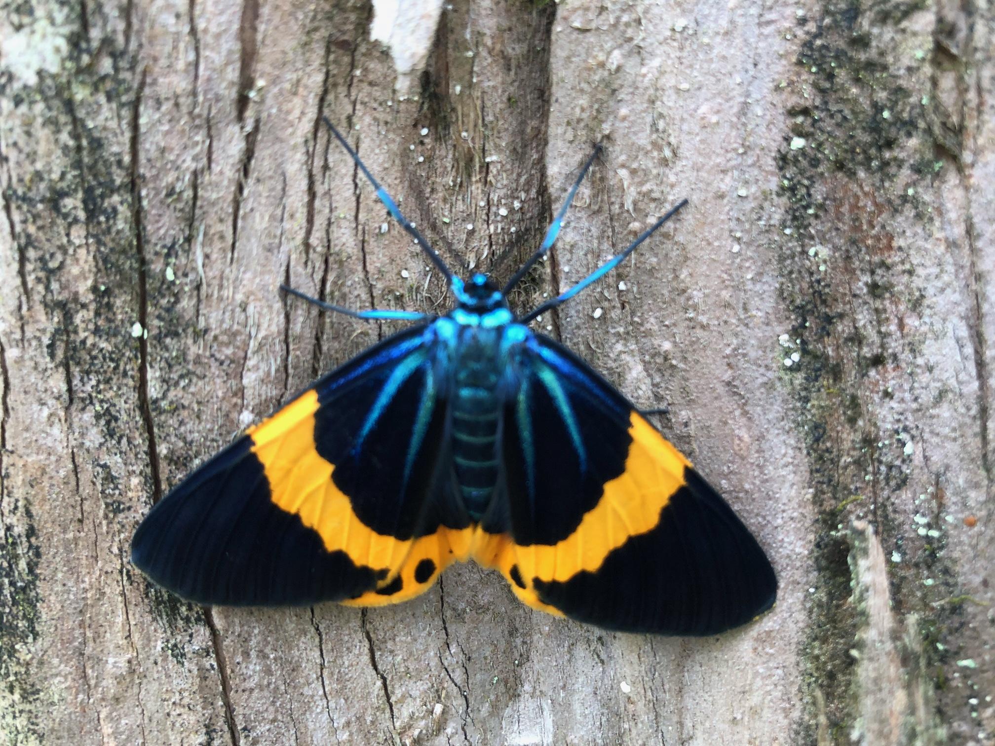 驚異の繁殖力 キオビエダシャク